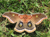 Giant Silkworn Moths - Saturniidae