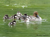 Common goldeneye female and chicks 1a.jpg