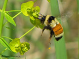 Bombus ternarius - Tricoloured Bumblebee in flight at leafy spurge 1a.jpg