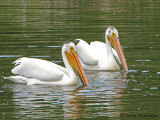 American White Pelicans 12a.jpg