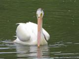 American White Pelican 3a.jpg