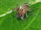 Funnel-weaver Spider with Ichneumon wasp A1a.JPG