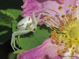 Misumena vatia Goldenrod Spider white 7a.jpg