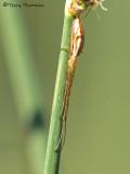 Tetragnathidae - Long-jawed Spider D1a.jpg