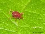 Erythraeidae Mite A1a.jpg