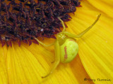 Misumena vatia - Goldenrod Spider 13a.jpg