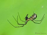 Neriene radiata - Filmy Dome Web Spider 9a.jpg