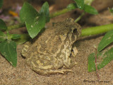 Great Plains Toad 4.JPG