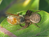Xysticus sp. - Crab Spider with Honey Bee A1a.JPG