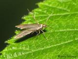 Skeletonizer Moths - Schreckensteiniidae