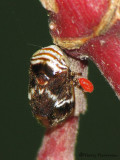 Froghoppers and Spittlebugs - Cercopidae