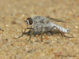 Stilleto Flies - Therevidae