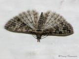 Many-plumed Moths - Alucitidae