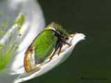 Treehoppers - Membracidae