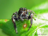 Eris militaris - Jumping Spider 12a.jpg