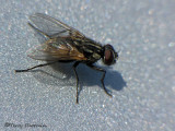 House Flies - Muscidae