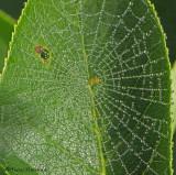 Araneidae - Orbweaver Spider web in leaf 1a.jpg