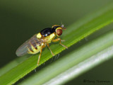 Grass Flies and Eye Flies - Chloropidae