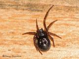 Steatoda borealis - Boreal Cobweb Spider A1a.jpg