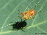 Araniella sp. - Orb Weaver male A1.jpg