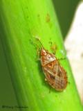 Artheneid Bugs - Artheneidae