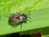 Big-eyed Bugs - Geocoridae