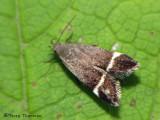 Twirler Moths - Gelechiidae