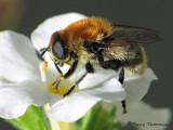 Merodon equestris - Narcissus Bulb Fly 1a.jpg