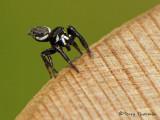 Metaphidippus mannii - Jumping Spider 2a.jpg