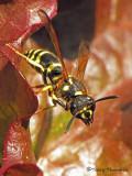 Ancistrocerus antilope - Potter Wasp 4a.jpg