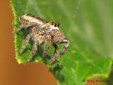 Salticidae - Jumping Spider A1a.jpg