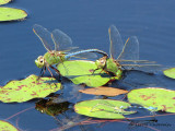 Anax junius - Common Green Darner pair ovipositing 1a.jpg