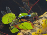 Anax junius - Common Green Darner pair ovipositing 3a.jpg