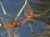 Sympetrum illotum - Cardinal Meadowhawk flying in tandum 3a.jpg
