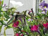 Rufous Hummingbird female 5b.jpg