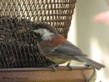 Chestnut-backed Chickadee at feeder 2a.jpg