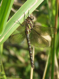 Aeshna palmata - Paddle-tailed Darner female 1a.jpg