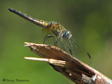 Pachydiplax longipennis - Blue Dasher female 1a.jpg
