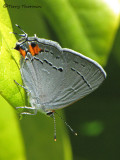 Strymon melinus - Gray Hairstreak 1a.jpg