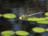 Anax junius - Common Green Darner in flight 1a.jpg