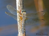Pachydiplax longipennis - Blue Dasher female 3a.jpg