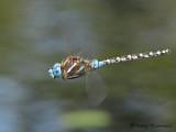 Rhionaecshna  multicolor - Blue-eyed Darner female in flight 1a.jpg