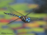 Rhionaecshna  multicolor - Blue-eyed Darner in flight 8a.jpg