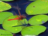 Sympetrum illotum - Cardinal Meadowhawk in flight 1b.jpg