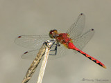 Sympetrum obtrusum - White-faced Meadowhawk 1a.jpg