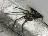 Agelenopsis sp. - Funnel Weaving Spider A2.JPG
