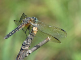 Pachydiplax longipennis - Blue Dasher female 4a.jpg