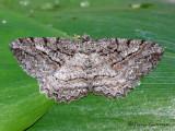 Neoalcis californiaria - Brownlined Looper 1a.jpg
