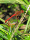 Sympetrum vicinum - Autumn Meadowhawk pair in copula 1a.jpg