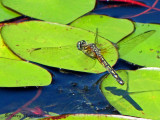 Pachydiplax longipennis - Blue Dasher female in flight 1.jpg